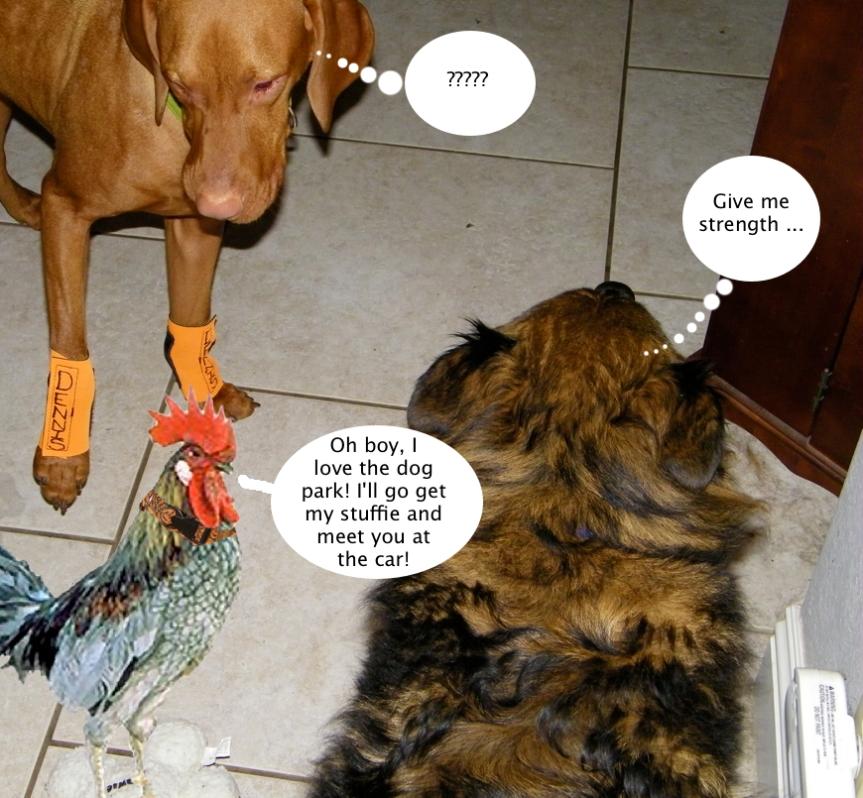 tucker_chicken_wants_dog_park