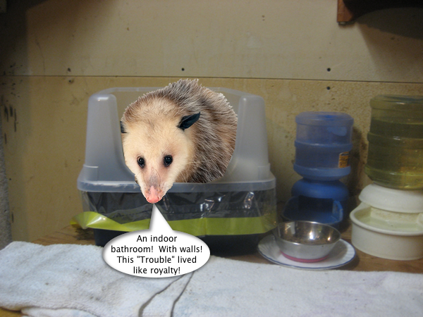 possum_in_the_potty