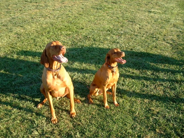 2002:  Tucker with his friend Hamish the Biggest Vizsla Ever