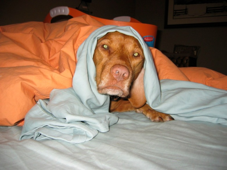 2004:  Helping With Laundry - A Longstanding Vizsla Tradition