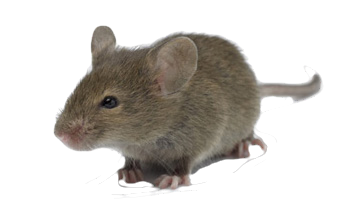 field mouse image