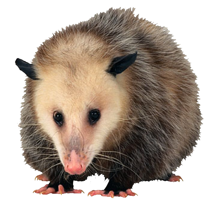 Opossum_Front