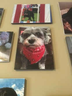 this littel dog reeminds me of my frend noodel with the little wiskers and the bandanna!!!